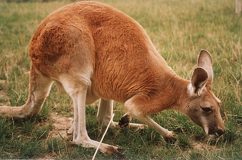 Red Kangaroo | Kangaroo Facts