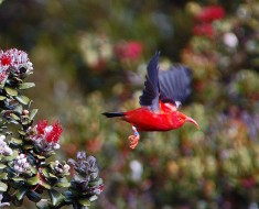 'I'iwi | Hawaiian Honeycreeper