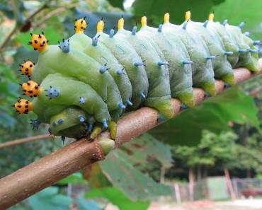 Cercopia Moth