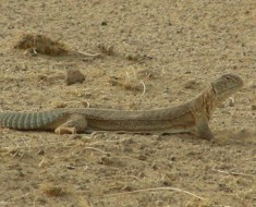 Indian Spiny Tailed Lizard