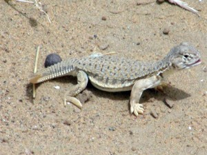 Juvenile Indian Spiny Tailed Lizard