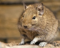 Degu Facts
