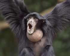 Siamang Facts