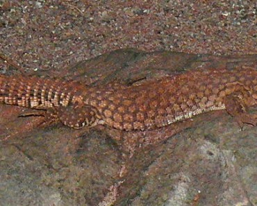Spiny Tailed Monitor