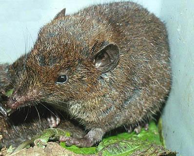 Dwarf Gymnure | Hairy Hedgehog | Moonrat