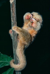 Top 10 Cutest Animals | Silky Anteater