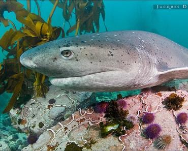 Sharpnose Sevengill Shark
