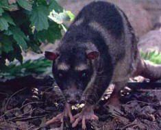 Yapok | Water Opossum
