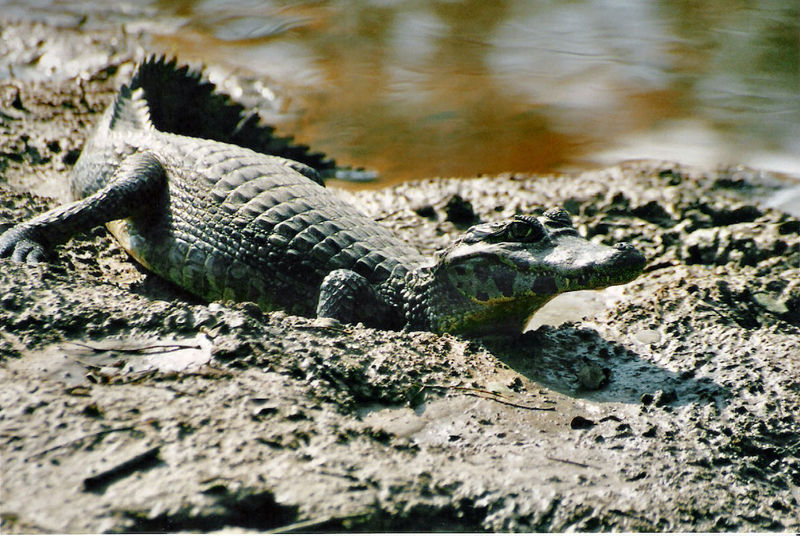 Caiman Differences
