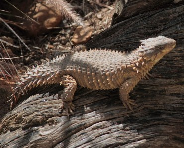 Giant Girdled Lizard Facts