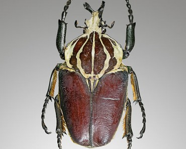 Largest Beetle in the World - Goliath Beetle