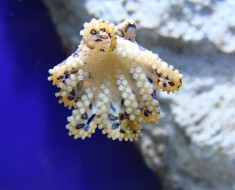 Blue Ringed Octopus - Top 10 Venomous Sea Creatures