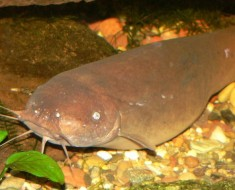 Electric Catfish Facts