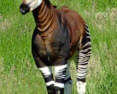 Okapi - Half Giraffe, Half Zebra
