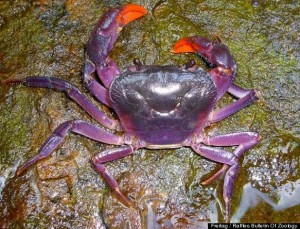 Newly Discovered Purple Crab