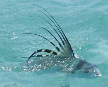 Tips for Catching the Rooster Fish