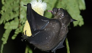 Cave Nectar Bat | Dawn Bat