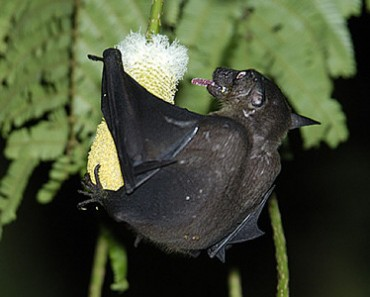 Cave Nectar Bat | Dawn Bat