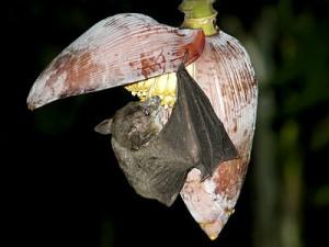 Dawn Bat   Cave Nectar Bat