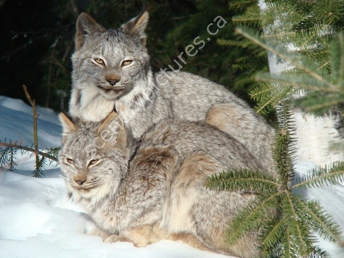 a report on the main characteristics of the lynx Montana field guide contains a wealth of information report to us forest population and habitat characteristics of lynx and snowshoe hares in north.