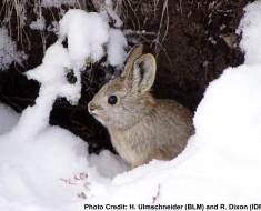 World's Smallest Rabbit | Pygmy Rabbit