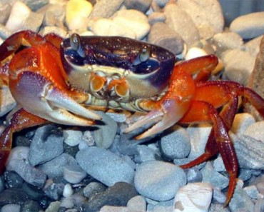 Rainbow Crab | Soapdish Crab