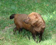 Bush Dog Facts