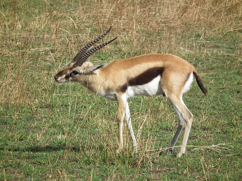 Thomson's Gazelle Archives - Animal Facts for Kids | Wild ...