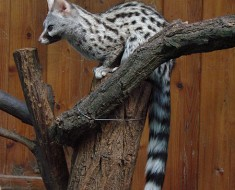 Genet - Mongoose-Cat Like Animal