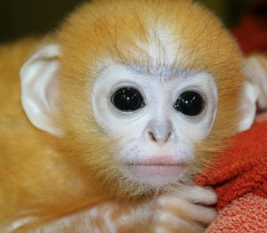 Dusty Leaf Monkey, Baby