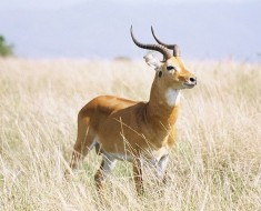 The Kob | Antelope Species of Africa