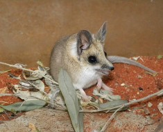 Fat-Tailed Dunnart | Marsupials