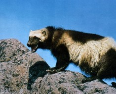 Honey Badger of the North | Wolverine