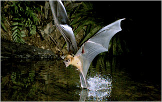 Fisherman Bat | Greater Bulldog Bat