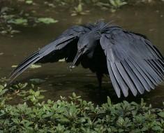 Black Egret - Black Heron