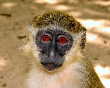 Green Monkey Facts