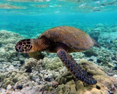 Green Sea Turtle Going Extinct