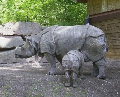 Javan Rhinoceros - Almost Extinct
