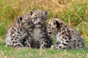 Endangered Species - Snow Leopard Cubs