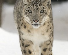 Endangered Species - The Snow Leopard