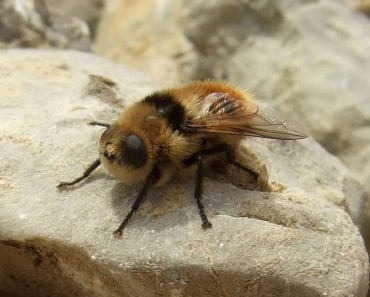 Is the Deer Botfly the Fastest Flying Insect?