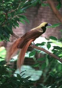 Top 10 Showoffs - Raggiana Bird of Paradise
