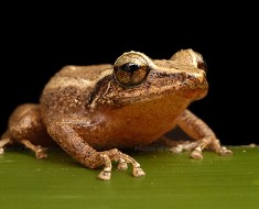 Loudest Amphibian in the World - Coqui
