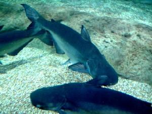 Worlds Largest Freshwater Fish