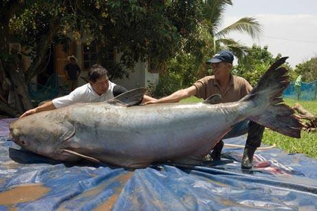 Mekong Giant Catfish
