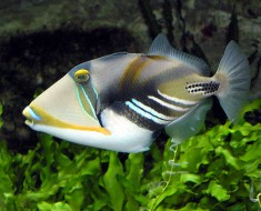 Triggerfish Species