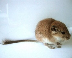 Plains Viscacha Rat
