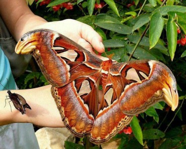 World's Largest Moth - Atlas Moth