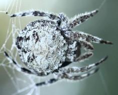 Darwin's Bark Spider - Strongest Spider Web