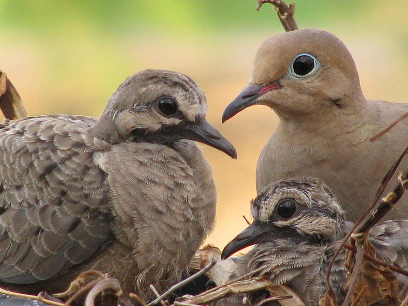 The Symbol for Peace and Love - Mourning Dove